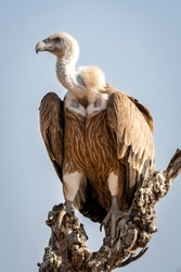 Griffon vulture or Eurasian Griffon or Gyps fulvus closeup or portrait perched on tree during winter migration at desert national park jaisalmer Rajasthan India