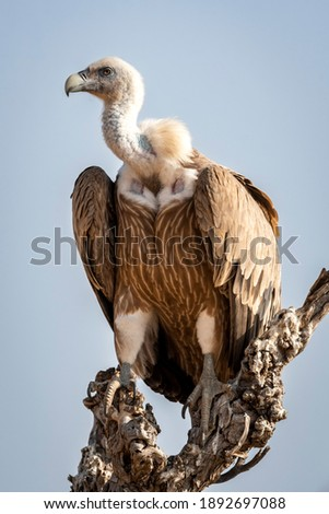 Griffon vulture or Eurasian Griffon or Gyps fulvus closeup or portrait perched on tree during winter migration at desert national park jaisalmer Rajasthan India Foto stock ©
