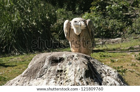 Griffon Vulture perched over a rock, Plasencia, Spain