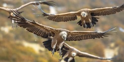 Griffon vultures (Gyps fulvus) group flying in misty conditions in Spanish Pyrenees, Catalonia, Spain, April. This is a large Old World vulture in the bird of prey family Accipitridae.