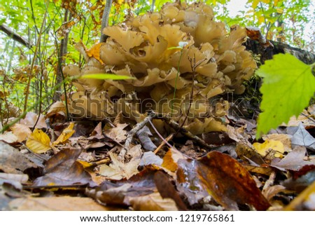 Grifola Frondosa, Or Hen Of The Woods Edible Wild Mushroom