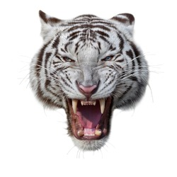 Grin of a white bengal tiger. Mask of a biggest and most dangerous cat of the world. Severe beast shows his fearful fangs. Mighty raptor, isolated on white background.