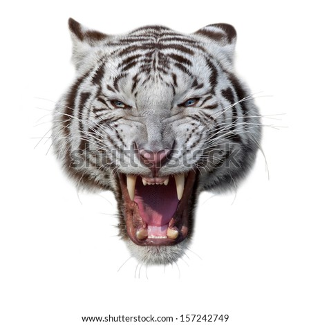 Grin of a white bengal tiger. Mask of a biggest and most dangerous cat of the world. Severe beast shows his fearful fangs. Mighty raptor, isolated on white background. #157242749