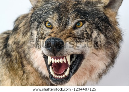 grin of a wolf close up Сток-фото ©