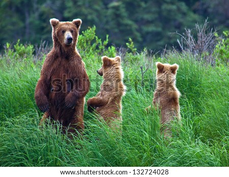 Grizly Bears at Katmai National Park, Alaska, USA