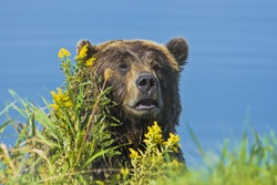 Grizzly bear at the pond