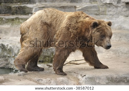 grizzly bear coming out of pool dripping water - stock photo