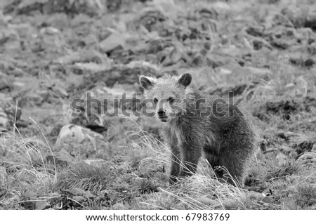 Grizzly Bear Cub in Black and White (also available in color)