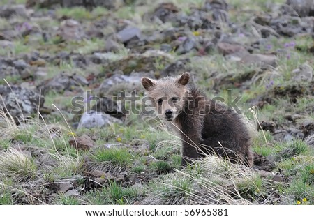 Grizzly bear cub looking at you