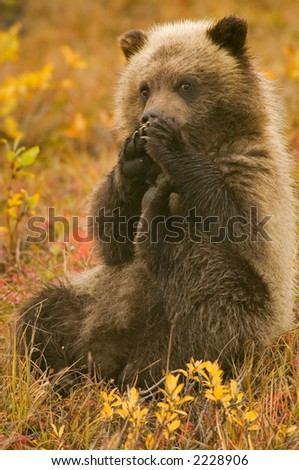 grizzly bear cub watches shyly from distance yukon tundra in autumn (non captive)
