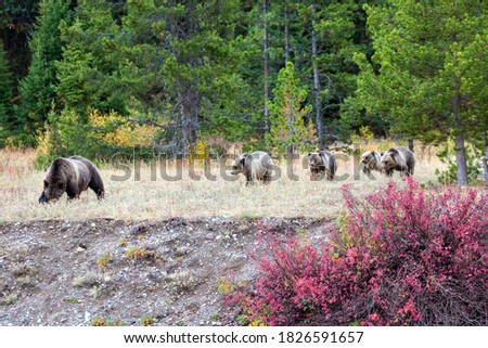Grizzly bear cubs from the famous grizzly bear 399 wander through a field in the fall colors in Grand Teton National Park (Wyoming). Stock fotó ©