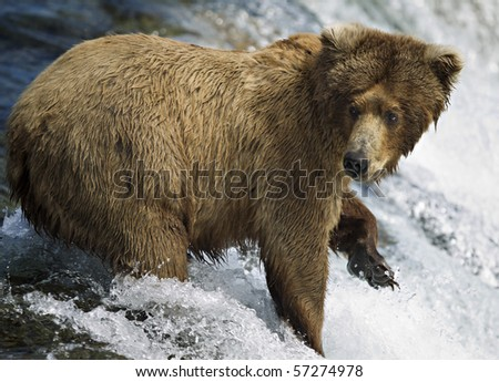 Grizzly bear fishing for Salmon at Brooks Falls on the in Alaska