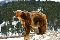 Grizzly bear growling on snowy cliff