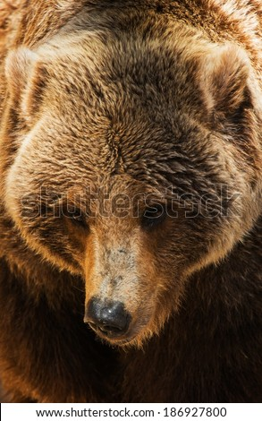Grizzly Bear Head Closeup Photo. American Brown Bear.