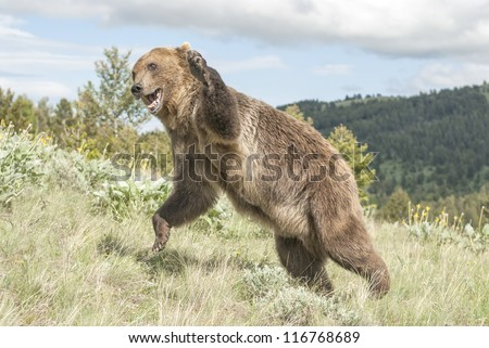 Grizzly bear in attack mode