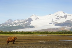 Grizzly Bear in landscape with snow capped mountains