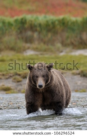 Grizzly Bear in river catching salmon.