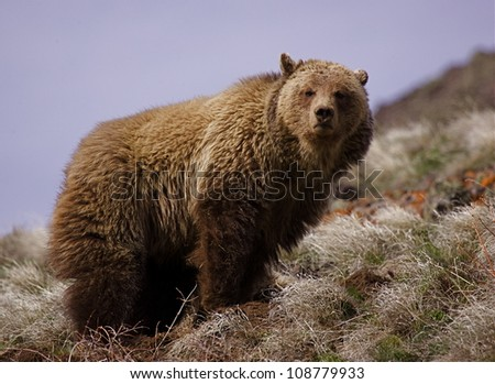 Grizzly Bear in Yellowstone National Park, facing directly towards viewer