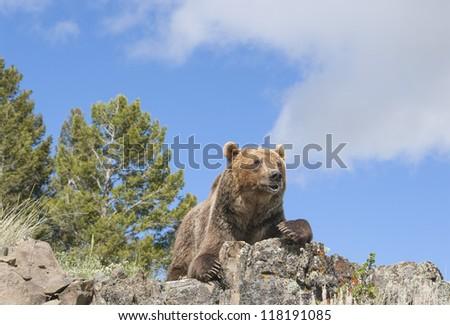 Grizzly bear on Montana ridge