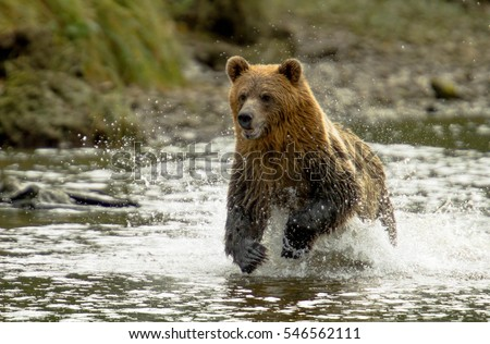 Grizzly Bear running in Knight Inlet British Columbia Stock fotó ©