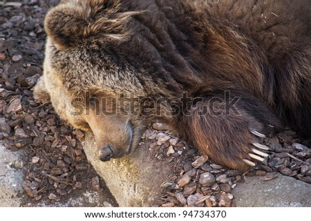 Grizzly bear sleeping in Zoo