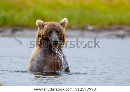 grizzly bear splashing to catch salmon in alaska lake