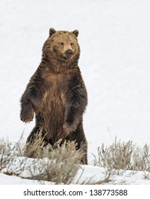 Stock photo of a grizzly bear standing on his hind legs in a snowy meadow in Yellowstone National Park, Wyoming.