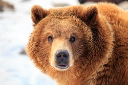 Grizzly bear standing in snow looking directly at camera with eyes wide open, near Bozeman, Montana.