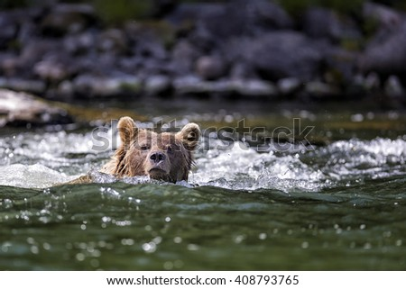 grizzly bear swimming across a river in the wilderness