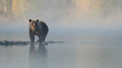 Grizzly Bear (Ursus arctos) - Dreamy Days