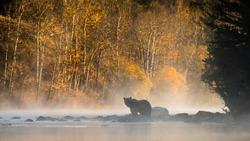 Grizzly Bear (Ursus arctos) - Golden Silhouette
