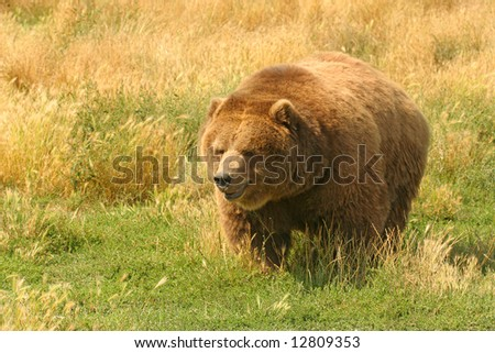 Grizzly Bear (Ursus arctos horribilis). Close-up of North American Grizzly Bear.