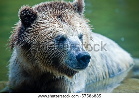 Grizzly Bear (Ursus arctos horribilis).  Head shot of a Grizzly Bear sitting in water.