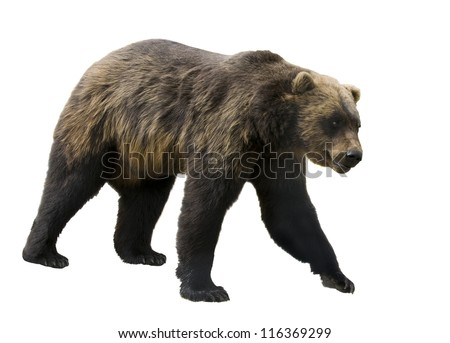 Grizzly bear  (Ursus arctos horribilis)  in profile isolated on a white background #116369299