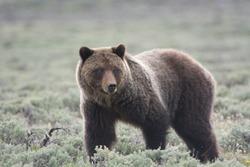 Grizzly Bear (Ursus arctos horribilis) in Sagebrush in Yellowstone National Park