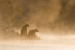 Grizzly Bear (Ursus arctos) - On Golden Pond