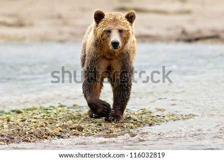 Grizzly Bear (Ursus arctos) with blood looking at camera