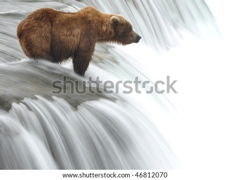 grizzly bear waiting for lunch