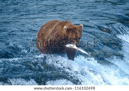 Grizzly bear with her catch of migrating salmon