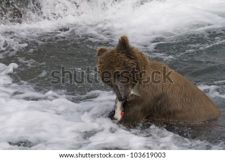 Grizzly Bear with his catch of salmon in Katmai National Park in Alaska