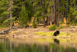 Grizzly bears and elk carcass killed in Yellowstone National Park, Yellowstone River in Hayden Valley, September 2020, guarding covered meat and antlers showing, bear 791 & bear 881, nature wildlife