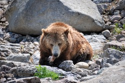 Grizzly bears at Zoo St-Felicien, Quebec, Canada.