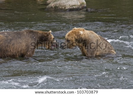 Grizzly Bears fighting over fishing territory in Katmai National Park in Alaska - stock photo