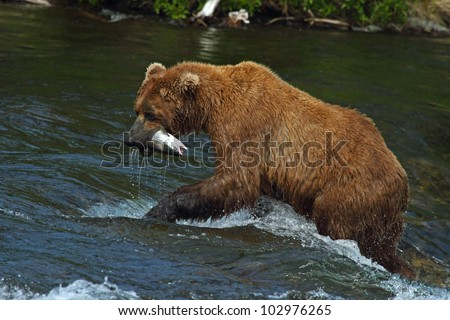 Grizzly bears fishing for salmon, Brooks Falls, Katmai NP, Alaska