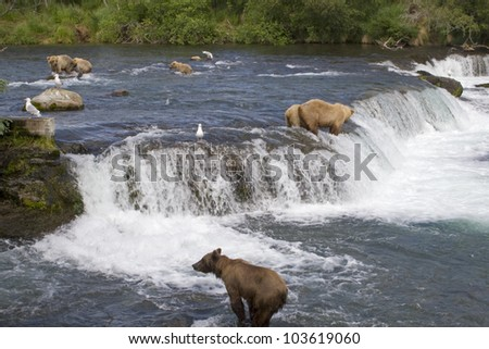 Grizzly Bears fishing for salmon in Katmai National Park in Alaska