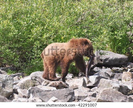 grizzly cub carries sockeye salmon