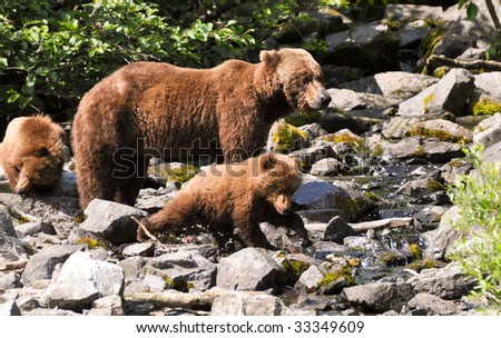 grizzly cub catches first fish