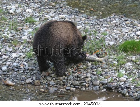 grizzly cub puncturing salmon and roe spurting out