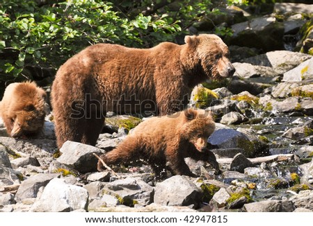 grizzly cubs learning to fish