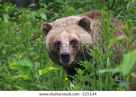 Grizzly in Forest Undergrowth